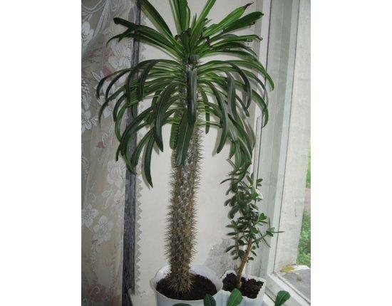 Скачать Мадагаскарская пальма фото 600x800 px
