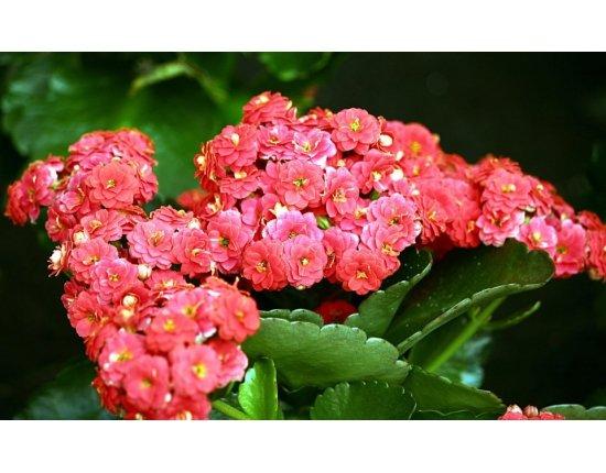 Скачать Цветы каланхоэ фото 960x586 px