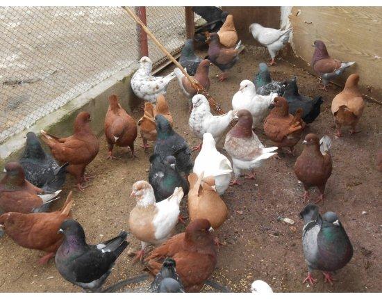 Разведение голубей домашних условиях