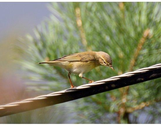 Птицы подмосковья фото и описание 1