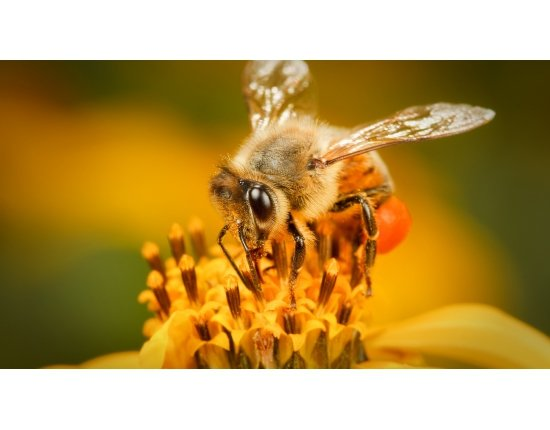 Скачать Крылья пчелы фото 1366x768 px