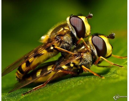 Скачать Оса и пчела различия фото 1280x1024 px