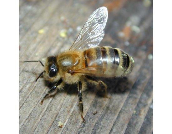 Скачать Среднерусская пчела фото 720x720 px