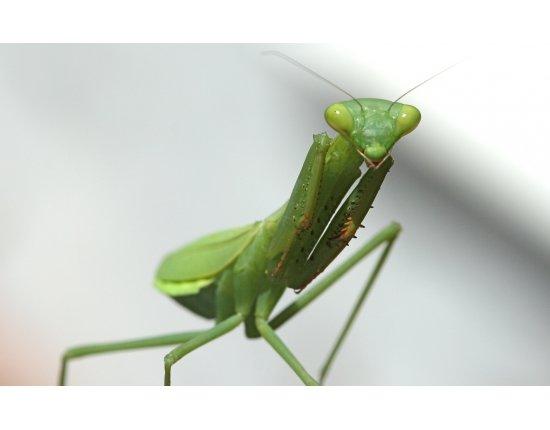 Скачать Богомол фото насекомое 1680x1050 px